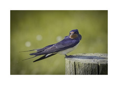 """""""I don't know how to say Cheese"""" (Sandra Draper) Tags: d7100 swallow posing"""