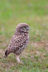 little Owls /Steinkauz (eric-d at gmx.net) Tags: littleowl owl eric ngc athenenoctua steinkauz eule strigidae kauz wildlife