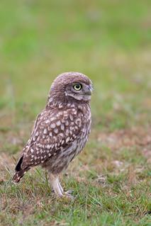 little Owls /Steinkauz