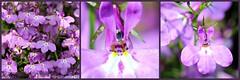 LILA SCHOONHEID || LILAC BEAUTIES (Anne-Miek Bibbe) Tags: lila lilac violet tuin garden jardin giardino jardim natuur nature bloei bloemen flowers flor flores bloom blumen fleur fleurs fiori fioritura canoneos700d canoneosrebelt5idslr annemiekbibbe bibbe nederland 2018