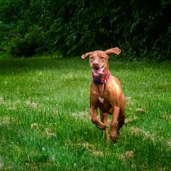 Happy Dog! (11yo, the new 6...) (Portraying Life, LLC) Tags: dbg6 k1mkii michigan pentax ricoh unitedstates closecrop handheld nativelighting dfa28105 vizsla step happy dog