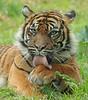 sumatran tiger Jarum Burgerszoo JN6A5774 (j.a.kok) Tags: tiger sumatraansetijger sumatrantiger sumatra asia azie pantheratigrissumatrae jarum cat kat animal burgerszoo mammal zoogdier dier predator