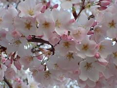 P3242913 (Dr. Fieldgood) Tags: washington dc national cherry blossom festival spring flowers mall