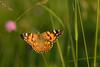 The Princess of the meadow. (Gergely_Kiss) Tags: hungarybutterflyspecies butterflymacro macrophotography insectmacro bogáncslepke vanessacardui paintedlady butterflyinthemeadow meadow lepke pillangó