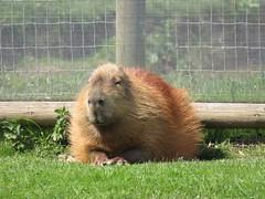 IMG_0190 (duncansmith50) Tags: yorkshirewildlifepark lions polar bears black rhino tigers giraffes doncaster