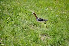 Hecla Lake Visitor (Let Ideas Compete) Tags: bird waterfowl curvedbeak avocet americanavocet grass field inthegrass birdwalk upwardcurvedbeak upturnedbeak brownhead tanhead recurvirostraamericana
