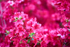 Impression de rouge (Xiaohua Le) Tags: giverny france monet jardin printemps rouge flower red garden spring