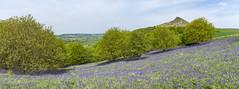 Bluebells at Roseberry Topping (Keartona) Tags: roseberrytopping northyorkmoors northyorkshire yorkshire england english landscape may bluebells hill sunny day
