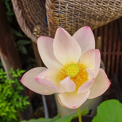 Lotus flower at wooden house (phuong.sg@gmail.com) Tags: aquatic asia asian background bed bloom blossom botanical botany bouquet buddhism closeup colour colourful detail easter exotic flora flowering flowers foliage fragrance fragrant fresh garden gardening grow growing india leaf light lily lotus macro nature nymphaeaceae oriental passion plant purple serenity summer sunlight sunshine symbol tranquility tropical vegetation