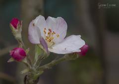 Dia 248 - Flower -_MG_2970 (gedaesal) Tags: flower macro macrodreams ngc closeup canon700d sigma105mmf28macro nopeople flowerhead