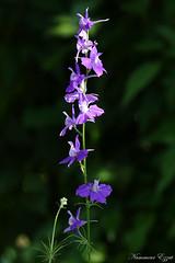 Pied d'Alouette (Ezzo33) Tags: france gironde nouvelleaquitaine bordeaux ezzo33 nammour ezzat sony rx10m3 parc jardin fleur fleurs flower flowers mauve rose pink rouge red bleu blue