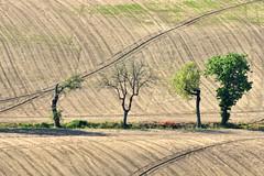 in fila (luporosso) Tags: natura nature naturaleza naturalmente nikon nikond500 nikonitalia rossolupo terr terraarata geometrie geometry alberi trees scorcio scorci campagna campi country countryside marche italia italy