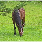 Cavall pasturant thumbnail