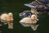 2H4A5465_IMG (.FB.com/WildeBoerPhotography) Tags: birds birdwatching waterbirds waterreflections vogels vogel eend duck reiger blauwereiger