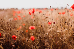 poppies (thethomsn) Tags: poppies flowes flield countryside red gold corn barley farming dof bokeh canon 6dmk2 50mm thethomsn