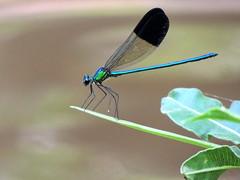 Dragonfly (markb120) Tags: animal fauna insect bug hexapod flyer flier dragonfly flyingadder darningneedle wings eye