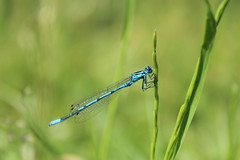 A beautiful damselfly at rest (Zavud) Tags: entomology dragonfly damselfly nature biology zoology ecology wildlife beautiful insect