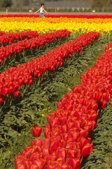 Skagit Valley Tulip Festival 2018 (Aneonrib) Tags: skagit valley tulip festival 2018 tulips flowers mount vernon wa sun april roozengaarde annual spring northwest county washington state landscape field flowrbed plant outdoor panasonic lumix red yellow