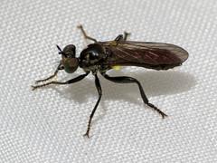 Mount Diablo Robber (treegrow) Tags: california mountdiablo nature lifeonearth raynoxdcr250 arthropoda insect diptera asilidae eudioctria taxonomy:genus=eudioctria