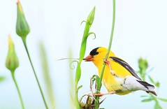 American goldfinch male eating yellow goat's beard seeds near Lime Springs IA 854A9078 (lreis_naturalist) Tags: american goldfinch male eating yellow goats beard seeds lime springs howard county iowa larry reis