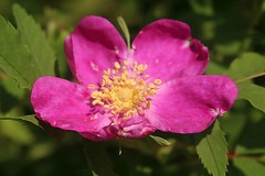 Rosa Nutkana Rose In Bloom 002 (Chrisser) Tags: flowers roses rosanutkana rosaceae nature ontario canada canoneosrebelt6i canonefs1855mmf3556isstmlens gardening garden fourseasons spring closeups