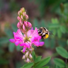 Abeilles et co (solennegau) Tags: insectes nikon d3400 nature fleurs montagne couleur couleurs animal macro plante abeille fleur