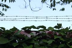 Día 240 (acido askorbiko) Tags: alambrada wire leaves sky blue green nature landscape landscapephotography landscapelovers landscapehunter landscapes killyourcity urban urbanandstreet urbex urbanphotography street streetphotography streetmagazine streetshared photography photographer canon7d canonphotography canonespaña canonusa noedit nofilters sinfiltros
