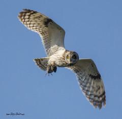 short eared owl with a vole (Pattys-photos) Tags: shortearedowl vole pattypickett4748gmailcom pattypickett camasnationalwildliferefuge idaho