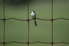 Clay-colored Sparrow - Spizella pallida (jessica.rohrbacher) Tags: passerellidae spizella pallidae sparrow claycolored bird avian spring calgary alberta canada park