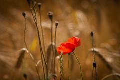 Bright Red (ursulamller900) Tags: primotar35135 poppy mohn red corn kornfeld summer bokeh sommer