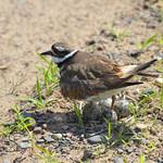 Killdeer Protecting Her Nest thumbnail