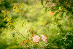 (frattonparker) Tags: btonner bokeh depthoffield flowersplants isleofwight lightroom6 nikkor105mmdf2dc nikond610 prime raw frattonparker cs6 flypapertexture flypapertextures roses