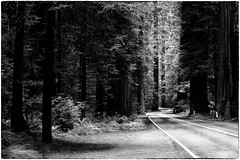 Forest Road (muzza_buck) Tags: monochrome blackwhite trees redwoods road shadows california