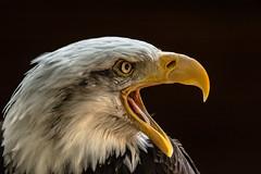 who neesd teeth (jeff.white18) Tags: baldeagle eagle birdofprey preditor raptor portrait bird eye beak feathers nature nikon flickr