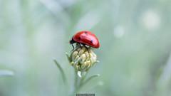 Ladybug (Nicola Pezzoli) Tags: italy val gandino seriana leffe ceride nature plant flower bokeh canon macro ladybug coccinella bug
