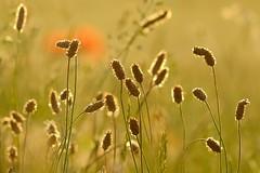 AllNatural (peeteninge) Tags: allnatural macromondays nature natuur backlight tegenlicht morning ochtend fujifilmxt2 fujifilm xf80mmf28