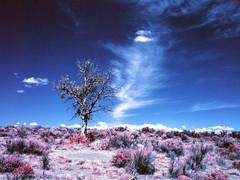 Oregon High Desert (bac1967) Tags: kodak aerochrome infrared kodakaerochrome 120film 120 mediumformat mediumformatslr red desert kodakfilm reversalfilm reversal slidefilm slide bronica zenzabronicaetrsi zenza pacificnorthwest pnw oregon high oregonhighdesert hoghdesert easternoregon sage sagebrush tree deadtree clouds blue sky rural