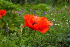 Summer Reds @ SE15 (Adam Swaine) Tags: commonpoppy peckehamryepark flora flowers wildflowers petals seasons parks londonparks england english beautiful britain british garden 2018 uk canon