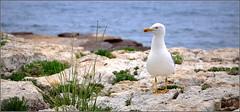 hello, ici le week-end sera chaud et chez vous ? (Save planet Earth !) Tags: bird oiseau île goéland seagull amcc nikon france