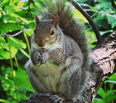 Grey Squirrel (janescottmoody) Tags: greysquirrel pests cute nuts drey