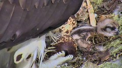Awww the baby at Hog Island 06-02-2018 9.48am (selro4me) Tags: ospreycams osprey raptor birdofprey fisheagle fishhawk nest eggs steve rachel island maine bailey hogisland audubon bremen usa