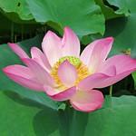 pink lotus thumbnail