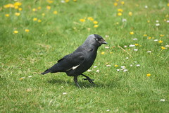 Black Bird on a Golf Course. (Working hard for high quality.) Tags: animal bird grass golf summer green nature