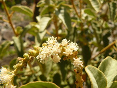 Croton flavens (tammoreichgelt) Tags: spurge flower inflorescence white euphorbiaceae yellow marang salt pond bay saint john
