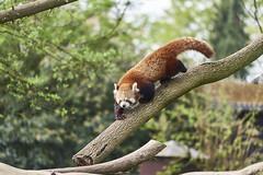 20180415_DSC_2915 (Christian Kappel) Tags: zoo heidelberg roter panda red