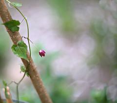 Purple bell (Magreen2) Tags: purplebellflower plant bell red purple green bokeh oldlenshelios4028515 manuallens altesobjektiv vintage blume purpurglöckchen grün rot