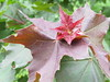 red and green leaves (VERUSHKA4) Tags: maple canon europe russia moscow city ville vue view season leaf tree nature bordo red green flora plant spring may primavera printempes springtime outdoor street astoundingimage vera