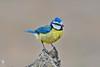 Blue Tit - Chapim-azul (anpena) Tags: birds passerines tits bluetit