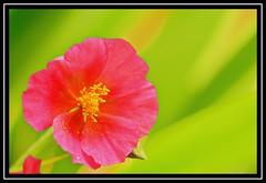 """Flowering..."" (NikonShutterBug1) Tags: macro closeup nikond7100 tokina100mm spe smartphotoeditor flower nature flora 100flowers2018 7dwf"