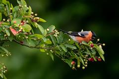 Gimpel in our garden-7436 (clickraa) Tags: ein gimpel auf unserer felsenbirne bullfinch juneberry